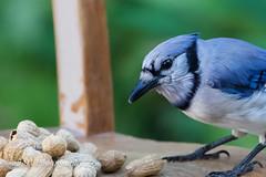 The Boys Are Back In Town (jah32) Tags: birds bird blue bluejay bluejays cmwdblue backyard mybackyard peanuts nature nikon d750 nikon20050056