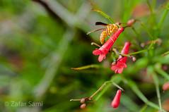 20160715-ZAS_9943 (zafarsami65) Tags: flowers bee abbottabad