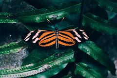 Tigre (yamircuevas) Tags: butterfly mariposa macro macrophotografy hojas leaves leaf insecto insect color colores colorfull animal animals tigre tiger pozarica veracruz méxico nature natgeo naturaleza natural