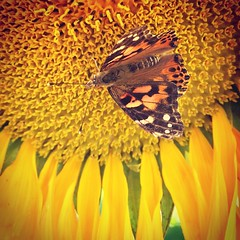 Two good things about summer, butterflies and sunflowers! (andy foster2007) Tags: sunflower butterfly iphone iphone6 iphoneography