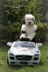 Baby you can drive my car.. (dewollewei) Tags: ast hardenberg turtlewax car mercedesbenz auto oldenglishsheepdog oldenglishsheepsdog oes bobtail dewollewei wickedwisdoms bobbie cabrio turtle wax pup puppy puppies