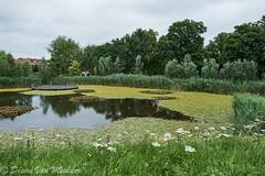 Vijver met waterplanten - Pond with water plants (desire van meulder) Tags: rumst antwerpen belgium pond vijver plants planten flowers bloemen