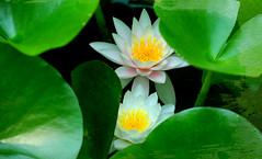 Nymphéas (Radoslav Minchev) Tags: водни water лилии lilies цветя flowers