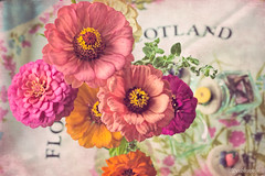Thumbelina (Peeblespair) Tags: pink flowers stilllife flower zinnia delicate shadeofpink peeblespairphotography