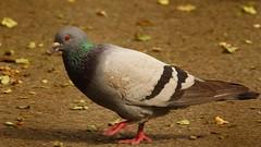Pigeon et bonne journe (Yasmine Hens) Tags: bird europa flickr belgium pigeon ngc oiseau namur hens yasmine wallonie world100f iamflickr flickrunitedaward hensyasmine
