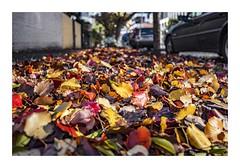 An Autumn Carpet . . . in Winter (red stilletto) Tags: autumn winter red orange yellow autumnleaves southmelbourne autumnleaf
