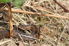 Female Adder - Banstead - Surrey (ChristianMoss) Tags: adder vipera berus surrey banstead snake canon wildlife reptile