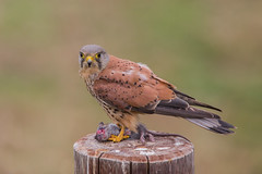kestrel with rat dinner (dale 1) Tags: rat kes kez kestrel hunting eating wild bird