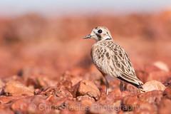 Inland Dotterel (chrissteeles) Tags: inlanddotterel dotterel birdsvilletrack bird birding outback southaustralia sa