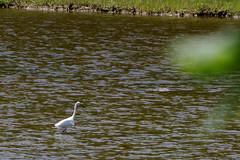 2016-07-17 Rachael Carson NWR (35) (Paul-W) Tags: vacation birds river march marine walk maine wells hike estuary trail saltmarsh saltpan 2016 rachelcarsonnationalwildliferefuge