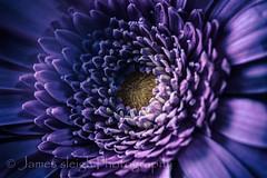 Fuji x-t10 carl zeiss (Jasrmcf) Tags: flowers flower macro beautiful petals fuji dof purple bokeh fujifilm fujinon carlzeiss bokehlicious xt10 fujimacro bokehgraph fujixt10