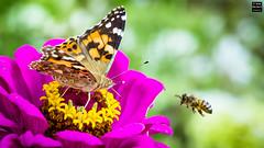 Sorry, occupied! (Tobias Neubert Photography) Tags: schmetterling butterfly biene bee distelfalter vanessacardui blume flower makro macro nahaufnahme insekt insect farben colors bokeh