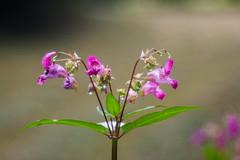 Blte mit Hummel-5819 Trioplan 100mm, 2,8 (Holger Losekann) Tags: trioplan blume blte plant pflanze flower