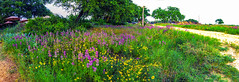 Texas Hill Country 2 (allen ramlow) Tags: flowers panorama green nature beauty grass landscape daylight texas sony country hill photomerge mulitpleimages a6000 sel1670