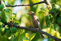 Supper! (Rico the noob) Tags: tree bird eye nature leaves birds animal animals closeup fruit schweiz switzerland published dof bokeh outdoor zurich 300mm d500 schlieren 2016 tc14eiii 300mmf4pf