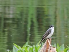Tyrannus tyrannus. (mariavargas4) Tags: aves pjaros nature naturaleza fauna colombia fotografa