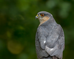 Sparrowhawk (Andy Morffew) Tags: