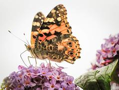 Distelfalter (Yohtine) Tags: schmetterlingblumensommerdistelfalter distelfalter butterfly makro schmetterlingsflieder buddleja juli pappilion