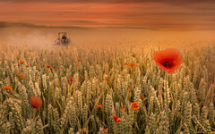Harvest time (sophiaspurgin) Tags: harvest sunset field tractor poppy wheat