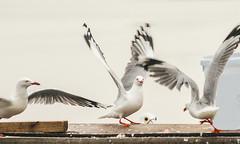 Beady-eye_DSC5614 (Mel Gray) Tags: swansea lakemacquarie seagulls birds waterbirds pelican lake water