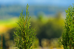 2016-07-24  17_27_17  Test D5 & 200-400f4 (Edi Bhler) Tags: hotpick pflanze tiefenschrfe plant nikond5 200400mmf4