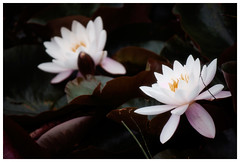the water lily (Barbara.K) Tags: waterlily nature soft lilies flowers canon500d canonrebelt1i canonefs55250mm alienskinexposure dof depthoffield differentialfocus