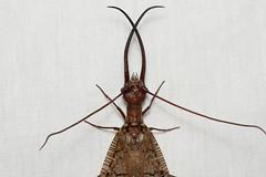 Corydalus clauseni  (Dobsonfly) - Costa Rica. (Nick Dean1) Tags: corydalusclauseni dobsonfly costarica lakearenal animalia arthropoda arthropod hexapoda insect insecta