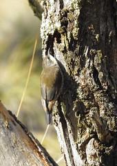 White-throated tree creeper (CazzJj) Tags: australia australian bird birdlife birds