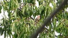 Bluthnfling im Kirschbaum-Video (lomix-logo) Tags: vogel bird garten selten rar bluthnfling