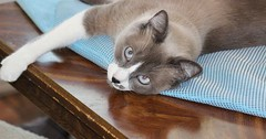 Ghost and his gorgeous baby-blues via http://ift.tt/29KELz0 (dozhub) Tags: cat kitty kitten cute funny aww adorable cats