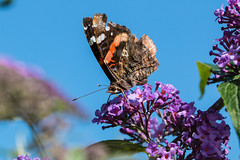 butterfly 5 (dr.larsbergmann) Tags: butterfly eos flicker summer nature explored outdoor canon
