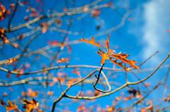 Autumn Gold (Mike_Mulcahy) Tags: blue orange nz newzealand hawkesbay tree goldenhour