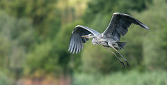 Grey Heron  |  Graureiher (abritinquint Natural Photography) Tags: bird vogel natural wildlife nature wild nikon d750 telephoto 300mm pf f4 300mmf4 300f4 nikkor teleconverter tc17eii pfedvr graugeirer greyheron inflight