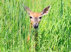 white-tailed deer doe at Decorah Prairie IA 854A3665 (lreis_naturalist) Tags: whitetailed deer doe decorah prairie winneshiek county iowa larry reis