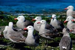 Heermann's Gulls (northamericaroks) Tags: washington gulls birds outdoor ave pajaro beach townsend seaweed ocean bay animal bird aquatic heermans