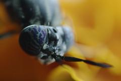 Macro ojo de avispa (mamd_) Tags: canon eosrebelt5 eos1200d macro macrofotografìa macroextremo insecto naturaleza animal vida ojos acercamiento micronikkor 55mmf28 micronikkor55mmf28 nikkor pk13 avispa alas patasblancas flor pose