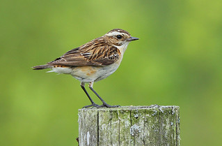WHINCHAT....female....Powys....Press L