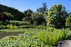 Not Many Lilies Out Yet (Jocey K) Tags: newzealand bankspeninsula southisland motukarara irisgarden waterlilies lilypond plants iris hedge sky watar pond trees