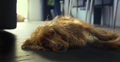 Nelly2 (adam_dunikowski) Tags: cocer spaniel dog sweet home light floor