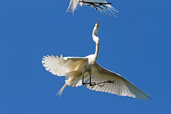 no wide angle ^^ (Dianne M.) Tags: greategret nature flight wideangle birding rookery birds wings feathers plumage florida