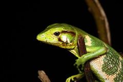 Anole sp. - Costa Rica (Nick Dean1) Tags: animalia reptile reptilia lizard anole costarica guanacaste lakearenal