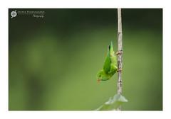 "~~ Vernal ""Hanging"" Parrot ~~ (Deepak Prabhakaran) Tags: ifttt 500px verneral 2016 august hanging ooty nilgris canon birds natures perched parrot cute small bird india tamilnadu 400mm eos parrtot"