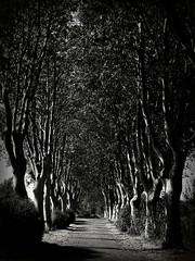 "tracce d'autunno nel ""mio"" viale (fotomie2009 OFF) Tags: francia france saint martin de crau provence provenza viale monocromo monochrome bw bn bouches du rhone saintmartindecrau bouchesdurhone trees alberi platani"