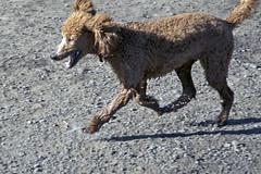 2736 (Jean Arf) Tags: ellison park dogpark rochester ny newyork september autumn fall 2016 poodle dog standardpoodle gladys run play motion blur
