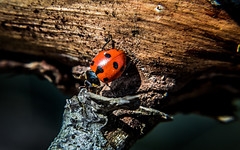 _MG_0760 (CyrilRly) Tags: coccinelle animal