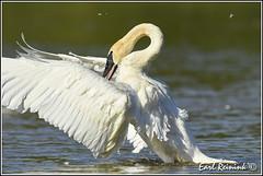 a good stretch (Earl Reinink) Tags: swan trumpeterswan earl reinink earlreinink nature naturephotography nikon nikond5 uutaauedra