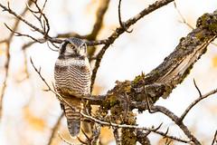Northern Hawk Owl (USFWSAlaska) Tags: kodiak alaska owl wildlife bird hawkowl