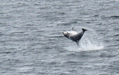 212/366 (Tracey Paterson) Tags: morayfirth highlands coast dolphin fortgeorge play mammal flip somersault