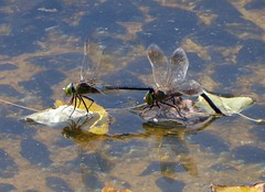 Lisbon dragonflies - Lesser Emperor (#Dave Roberts#) Tags: lisbon place vasco da gama dragonfly portugal odonata anax parthenope september 2016 urban wildlife