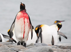 Injured King Penguin (Med Gull) Tags: cruise georgia penguin king wildlife south jim wilson salisbury peninsula plain quark antarctic zegrahm